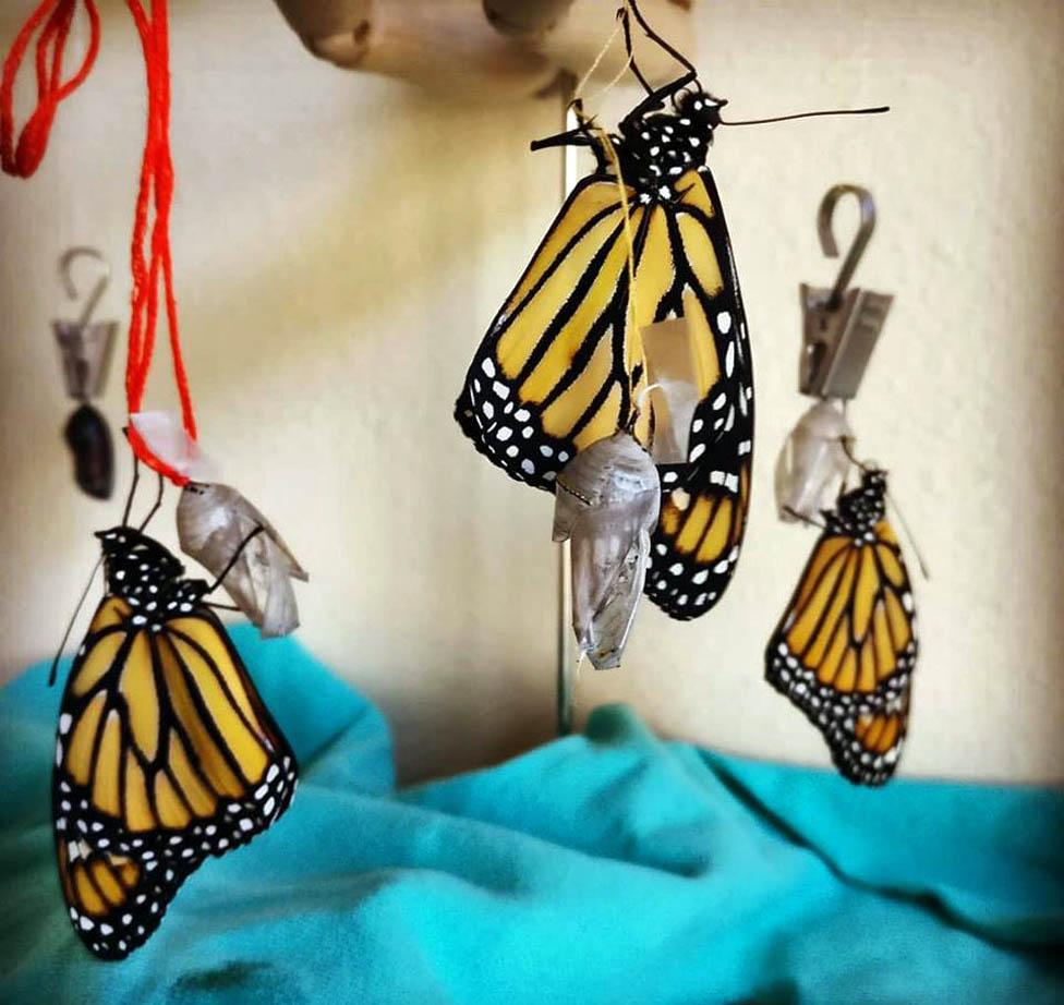 Leptiri izlaze iz lutki
