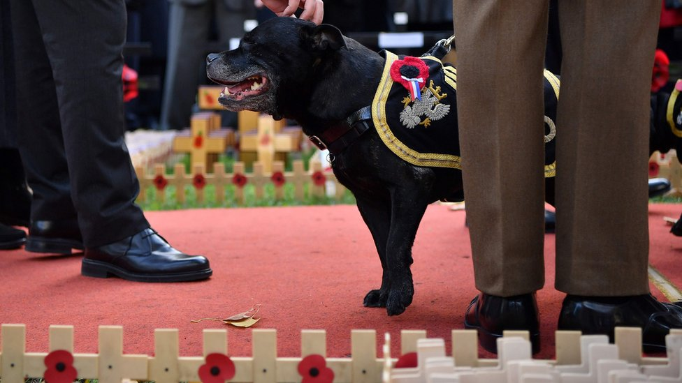 Watchman V, the retiring mascot for the Staffordshire Regiment Association,, stands near to the Field of Remembrance at Westminster Abbey in central London on November 8, 2018.