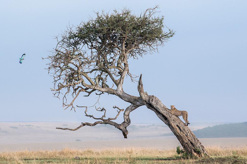 Gepard na drvetu