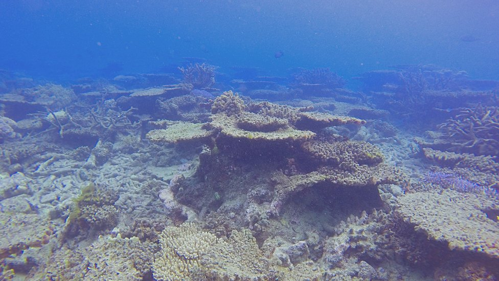 Dead or dying coral is 'bleached' of its colour