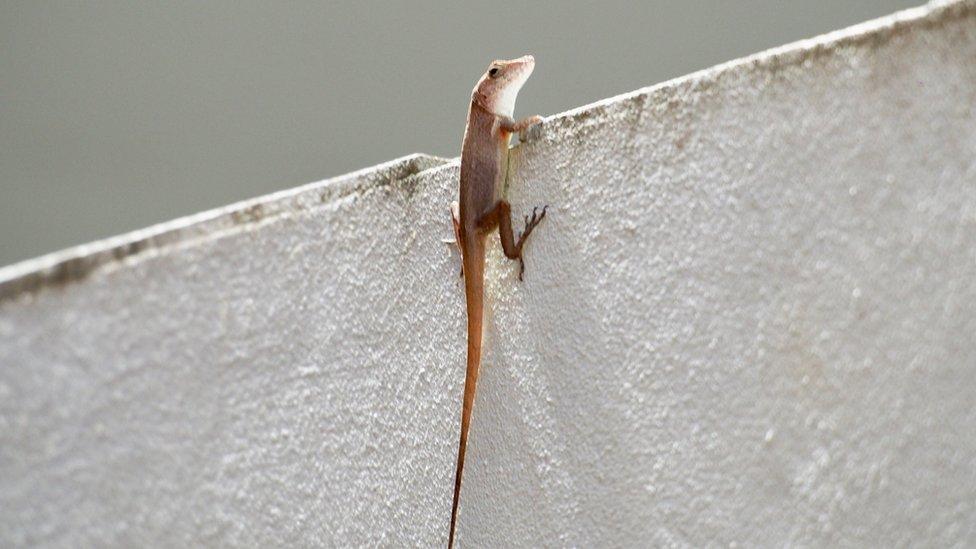 波多黎各的蜥蜴(Anole lizards)爬牆