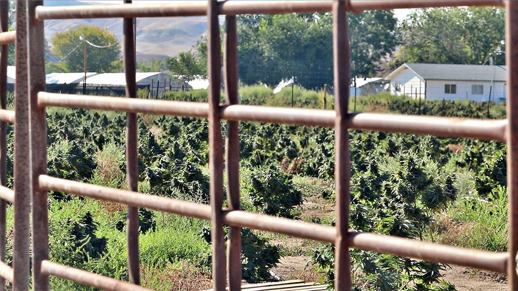 Booming cannabis plants at a farm in Shiprock, New Mexico last summer