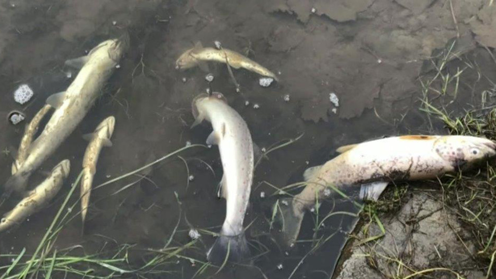 Fish pollution