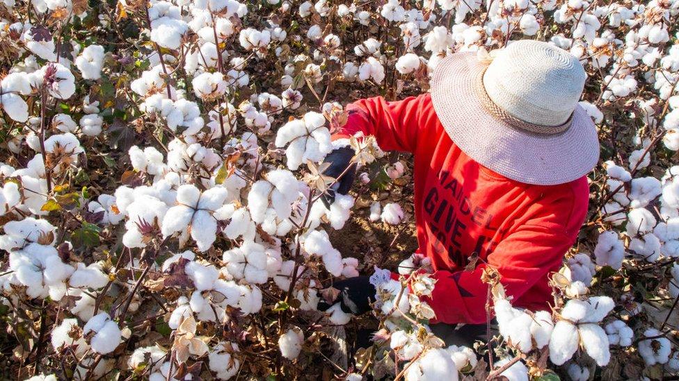 Un agricultor recolectando algodón en Xinjiang.