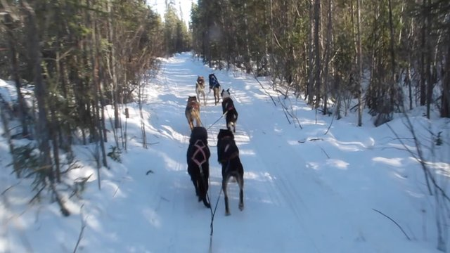 BBC Pop Up visited some sled dogs in Canada's arctic Yellowknife region