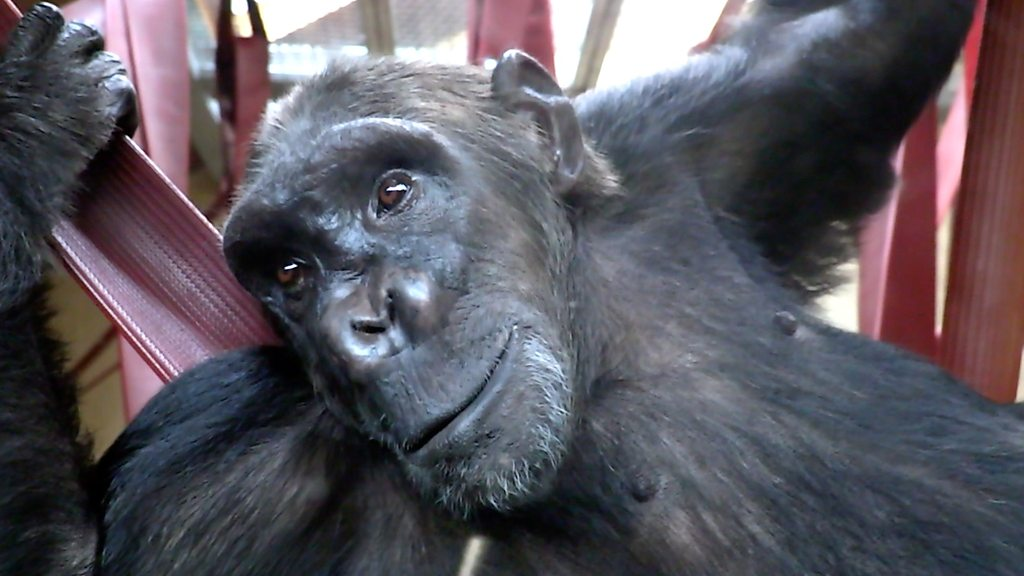 Illegally smuggled chimp safely rehomed in Dorset