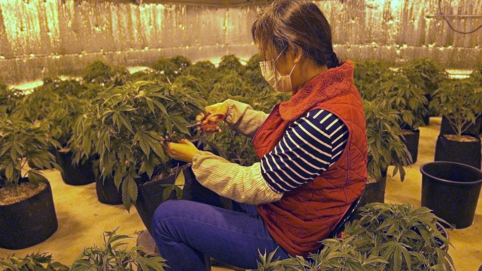 A Chinese worker trims a marijuana plant at Andy's cannabis farm in Oklahoma
