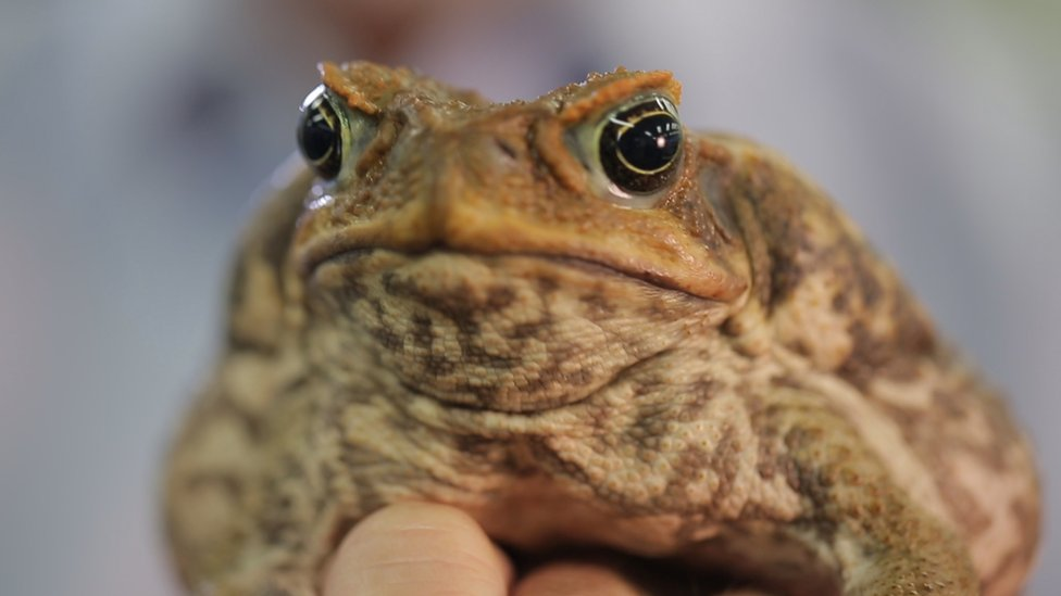 Cane toad DNA breakthrough 'may help stop' toxic pest
