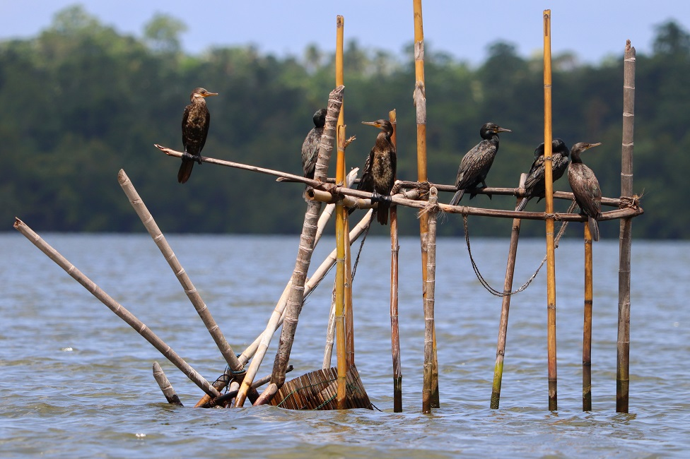 Cormorant birds perched on sticks above water