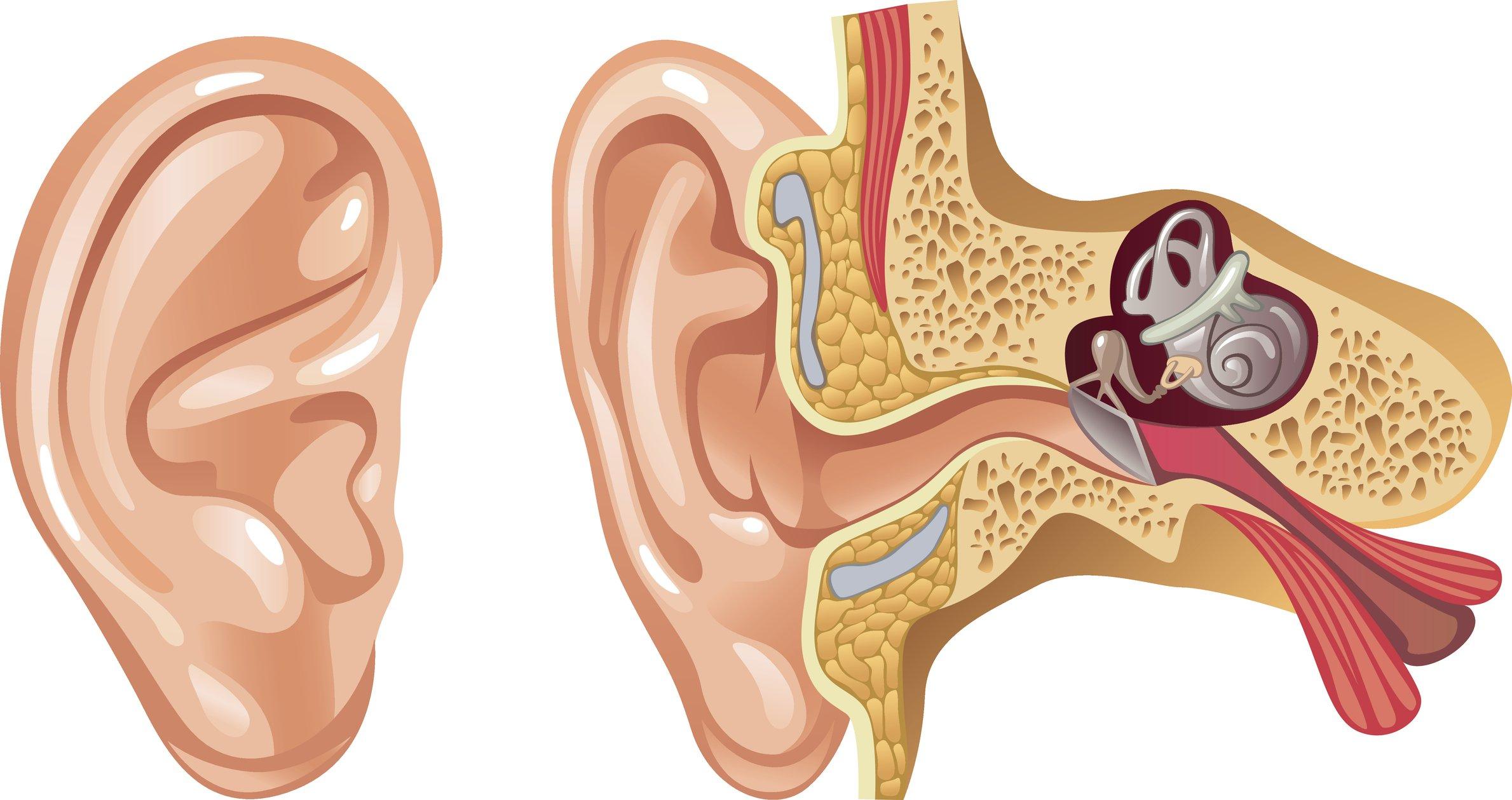 Ilustración de la oreja y el interior del oído.