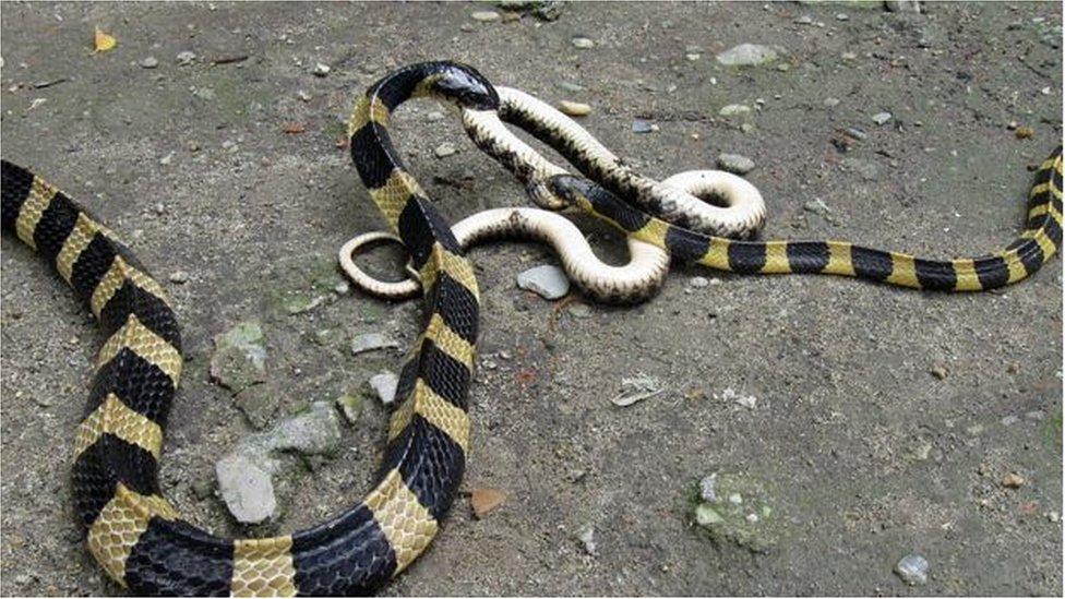 印度環蛇晝伏夜出,因此通常白天相對安靜,但在晚上變得兇猛。它可以長到1.75米的長度。