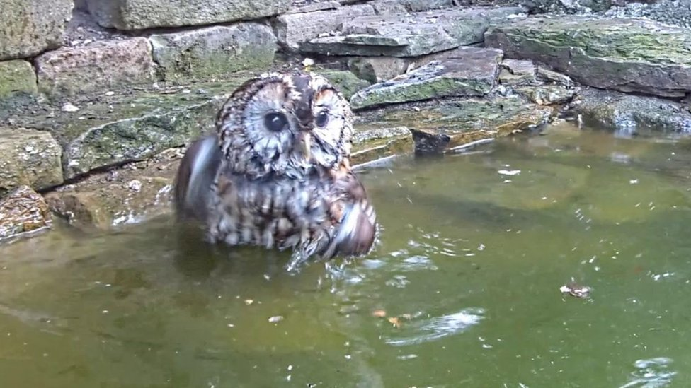 What a hoot! Tawny owl takes a bath