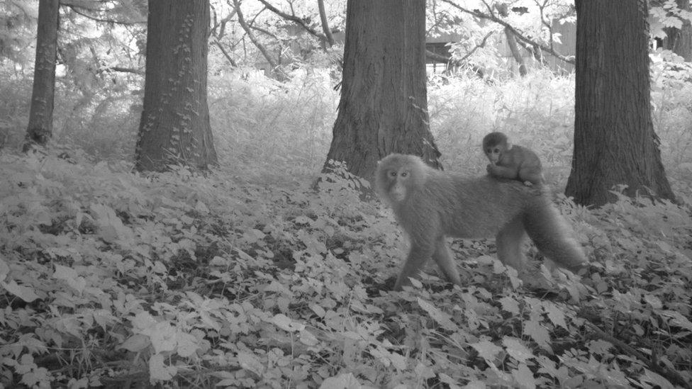 Dos macacos en un área de Fukushima que fue desalojada por el accidente nuclear y que sigue sin ser habitada.