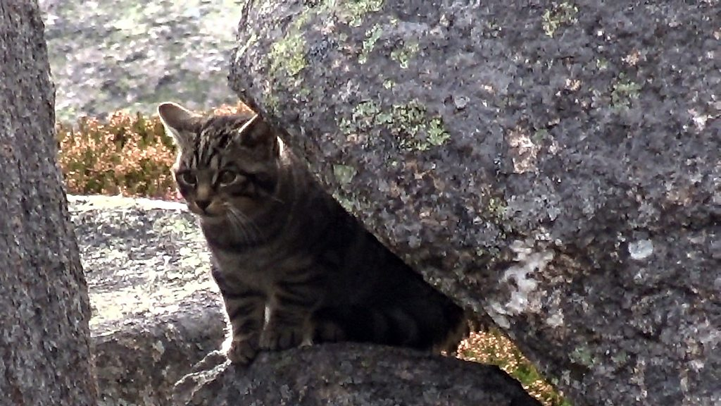 'Wildcat kittens' filmed by hillwalker in Cairngorms
