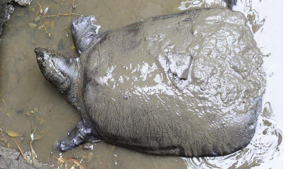 Velika mekooklopna Jangce kornjača uživa u mulju, a može da bude teška do 90 kilograma