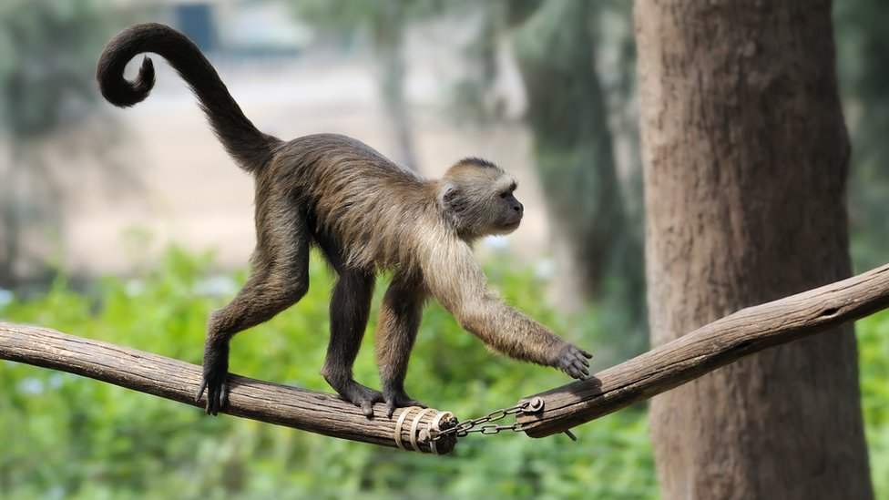 Hay varios genes relacionados con la formacion de la cola en animales.