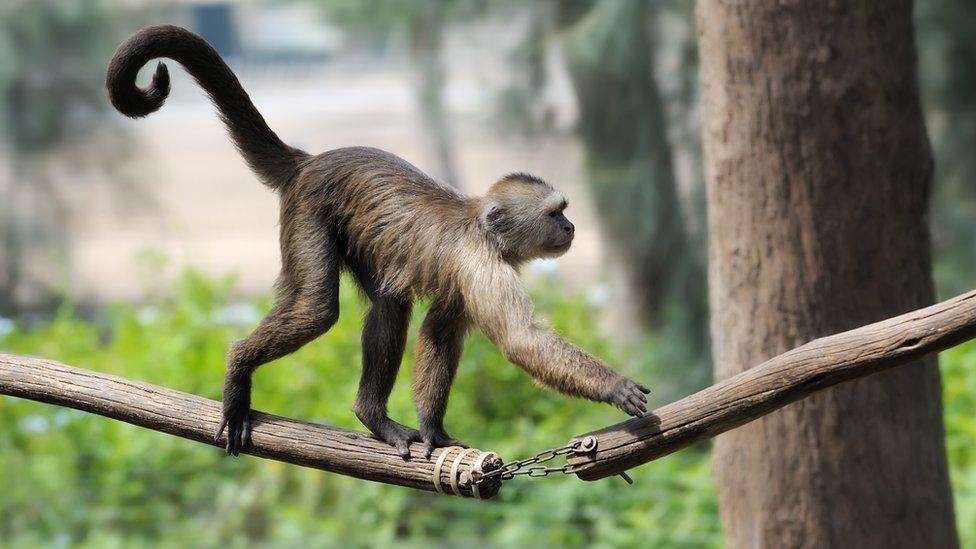 Hay varios genes relacionados con la formación de la cola en los animales.