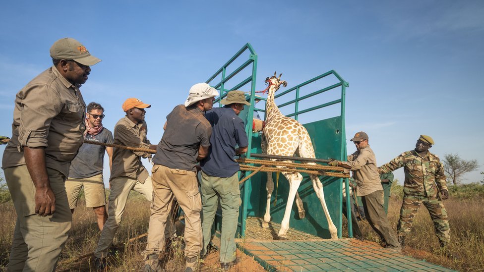 A giraffe is secured in a truck before being transported over 800km to its new home.