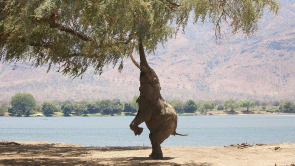Seekor gajah di punggungnya cuba mencapai dahan