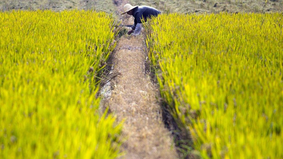 Žena koja radi na pirinčanom polju