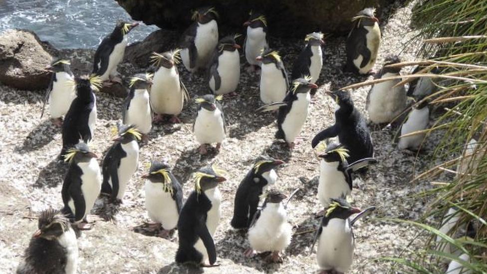 Severni rokhoper pingvini