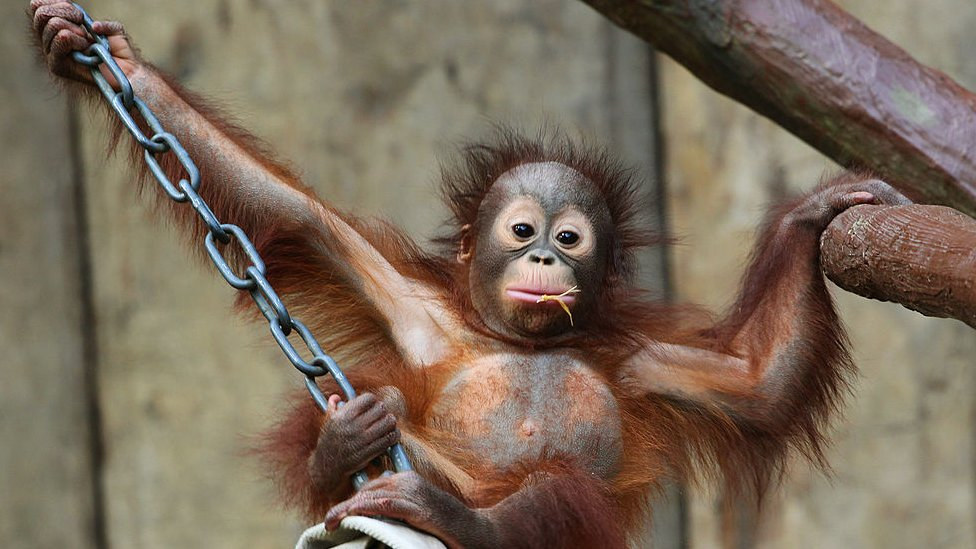 One of the orangutans born at the zoo - Changi