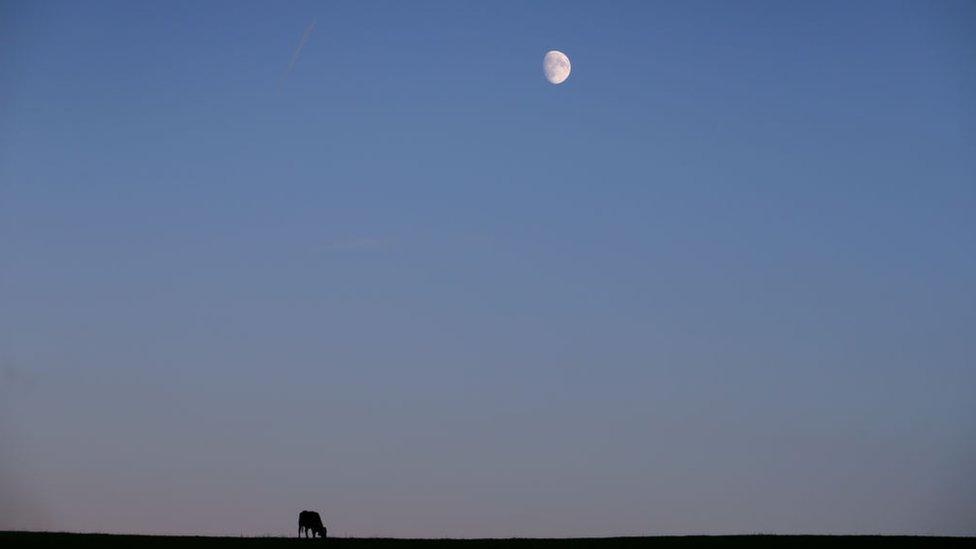 vacas y luna