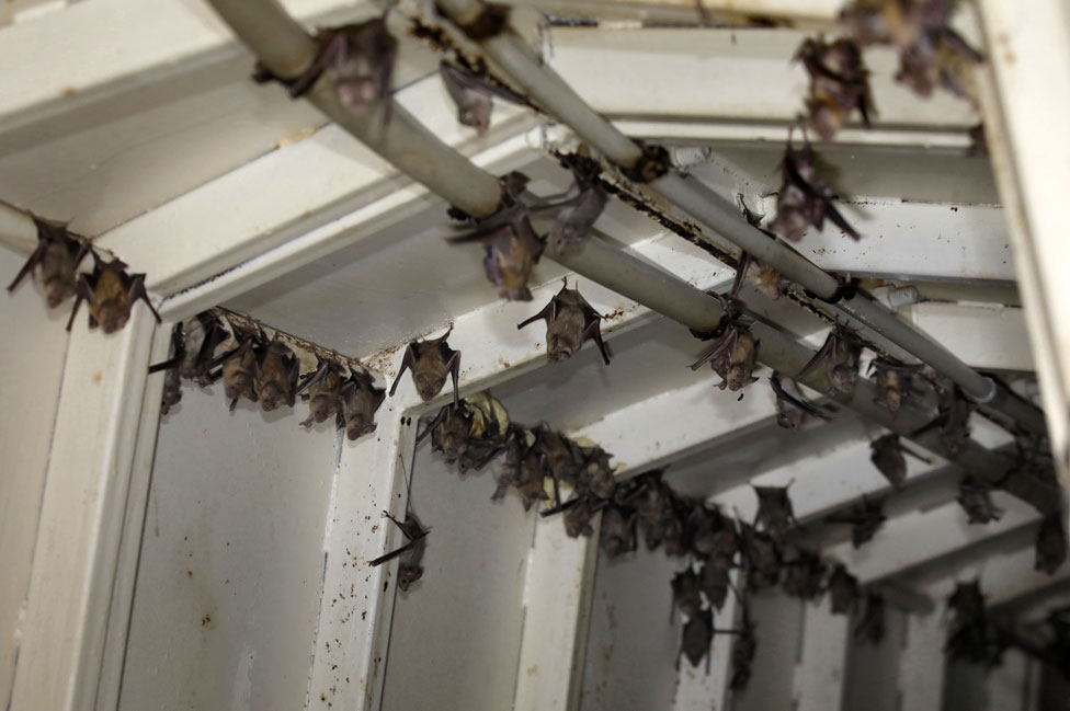 Murciélagos en Cisjordania
