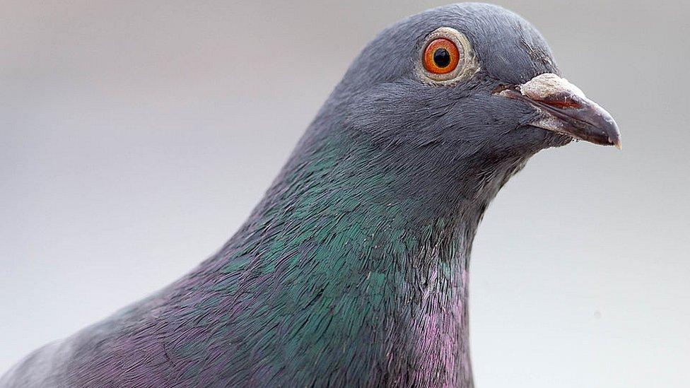 Как ЦРУ готовило голубей-шпионов для СССР