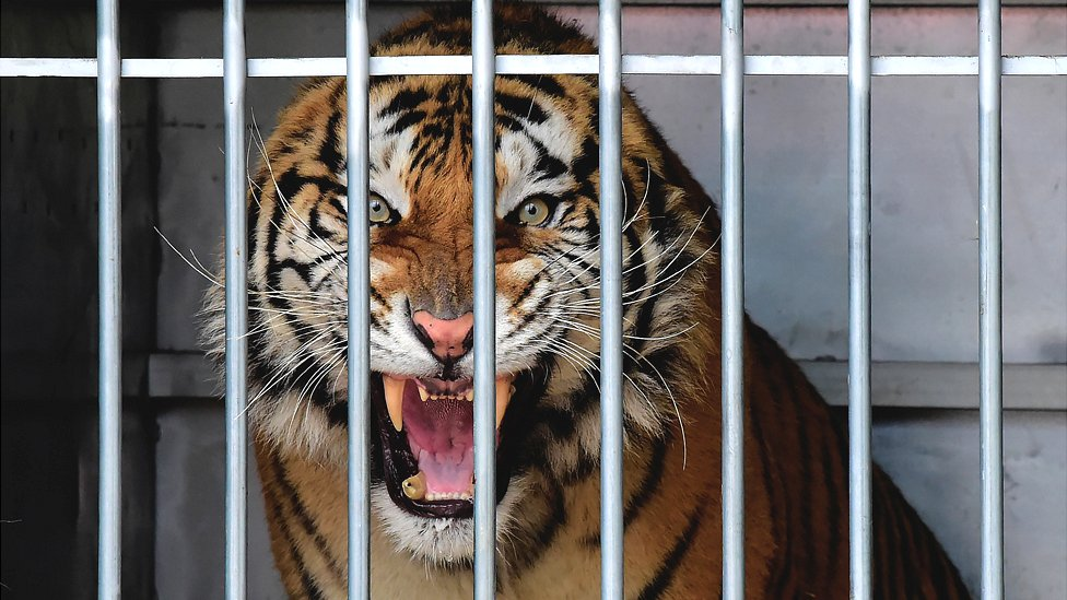 Rescued tiger in Spain, 2 Dec 19