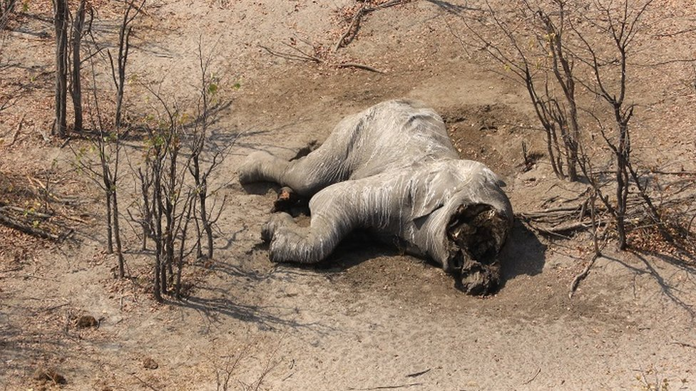 Aerial view of a poached elephant in Botswana
