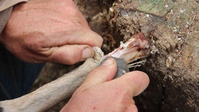 Para peneliti melakukan percobaan mencabut kulit dari tulang.