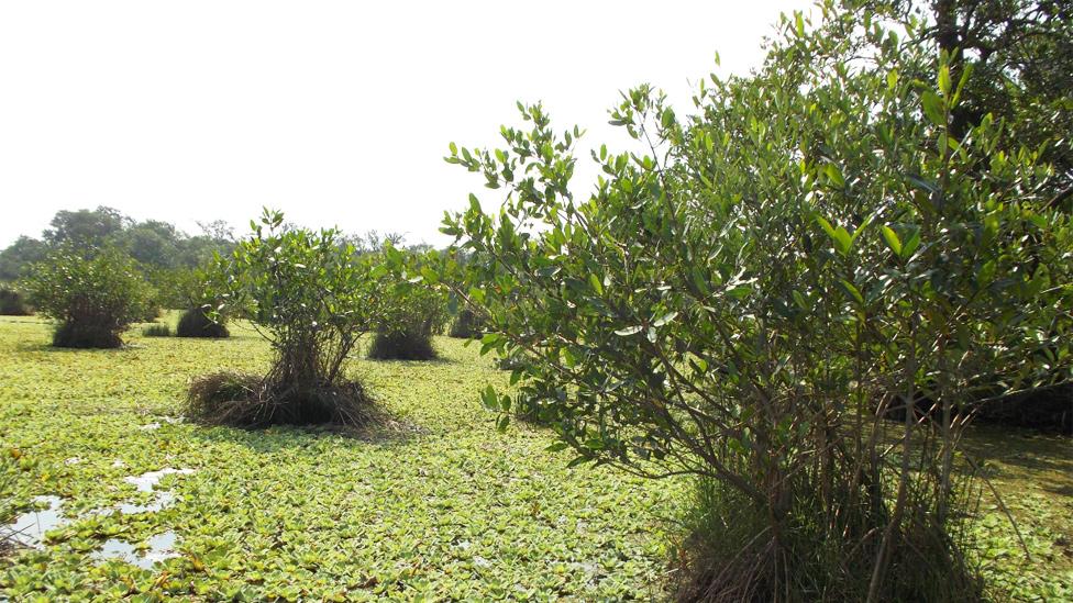 Islas flotantes de chinampas en manglares en Veracruz