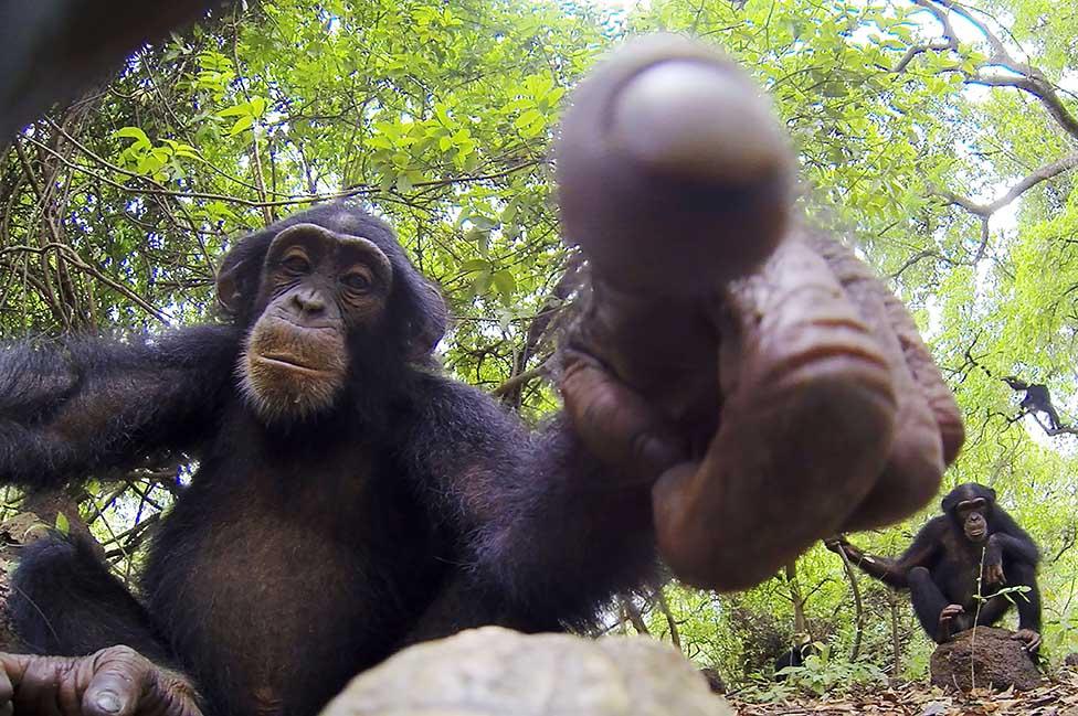 Un chimpancé salvaje