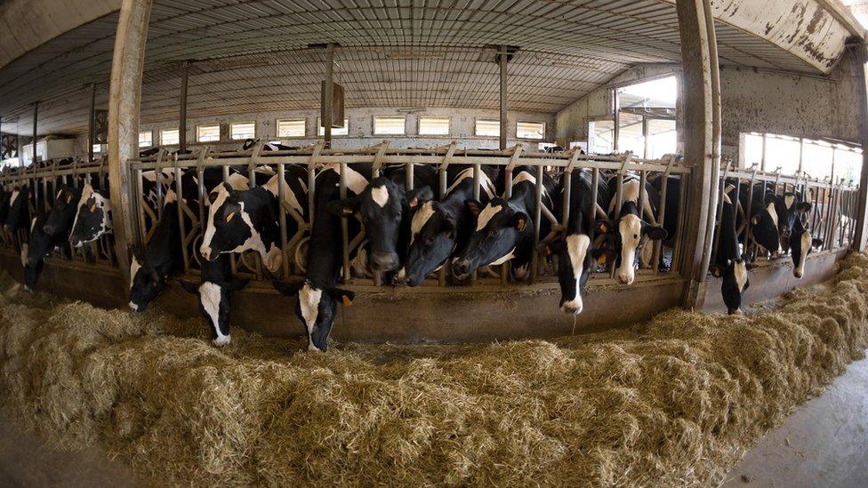 Vacas alimentándose