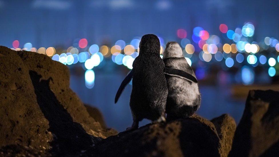 Dos pingüinos mirando hacia las luces de la ciudad.