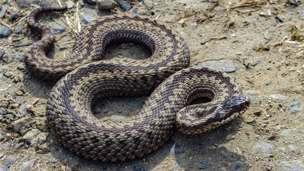 On the holiday weekend I saw a few adders out basking on trails, near Morven, Aberdeenshire