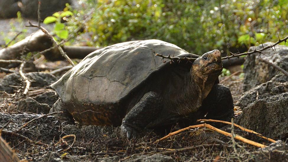 Tortuga gigante hallada en la Isla Fernandina en 2019
