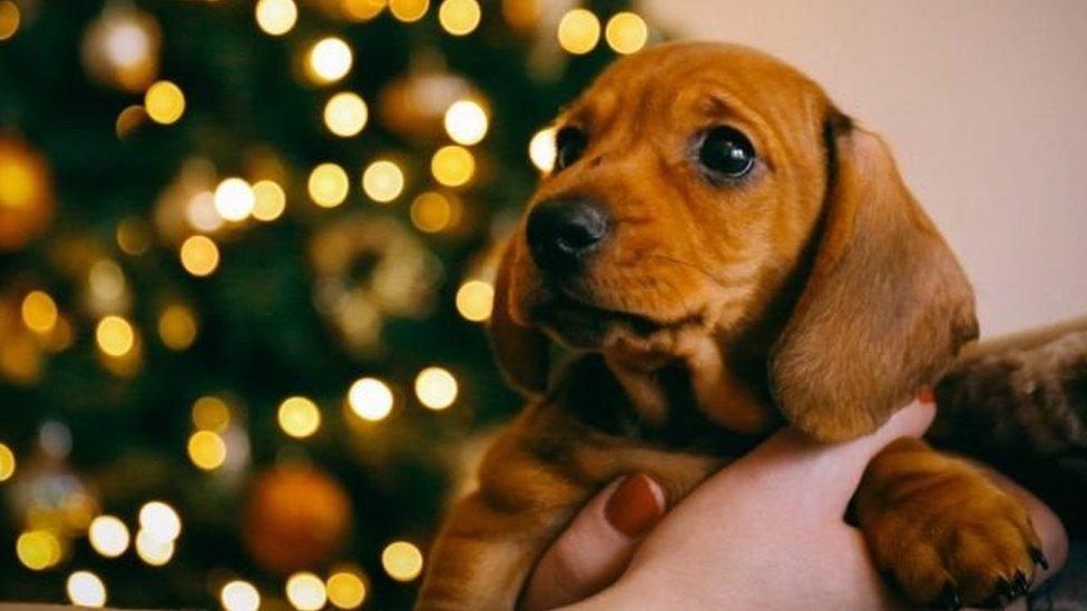 Собаки - не різдвяні подарунки! Як у Німеччині захищають тварин