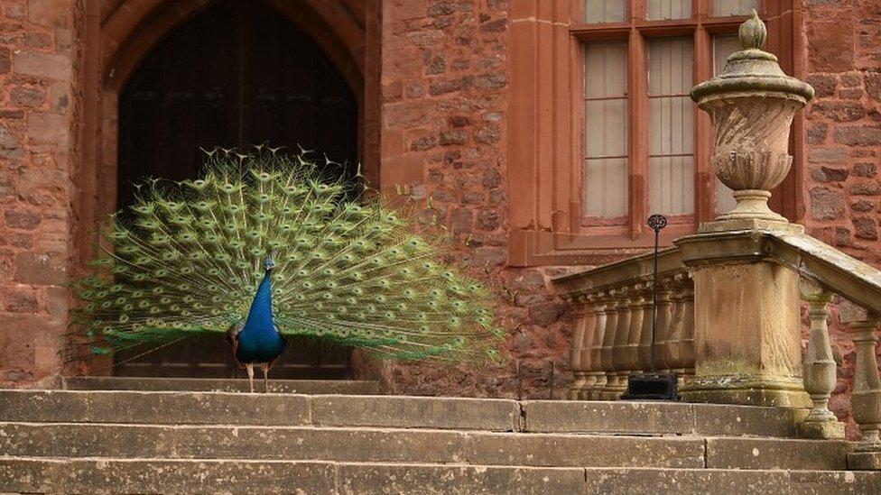 波伊斯城堡的孔雀