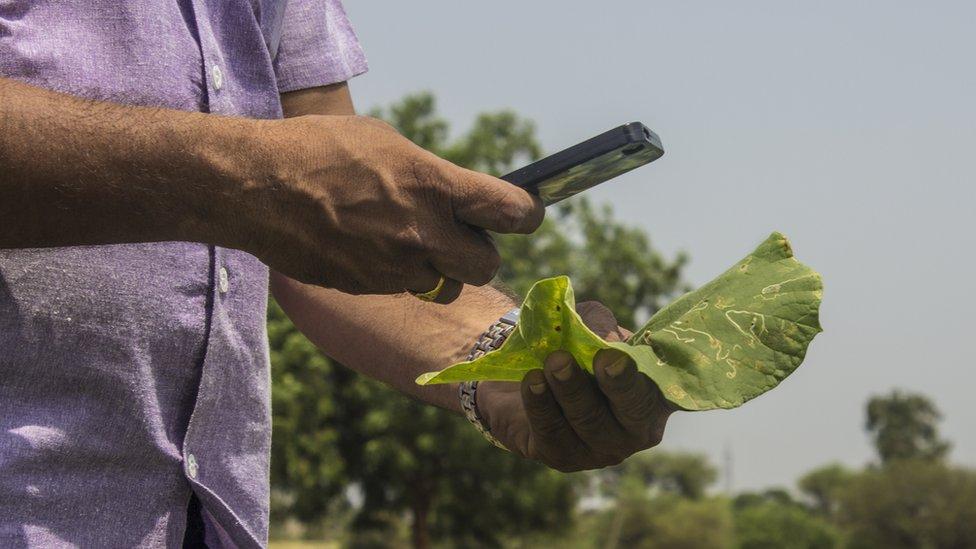 Farmer photographing damaged leaf