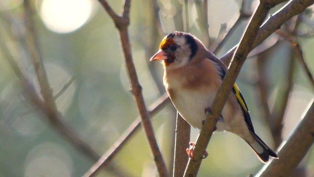 Goldfinch in garden (c) Victoria Gill