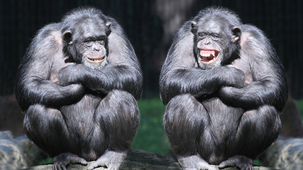 Šimpanze
