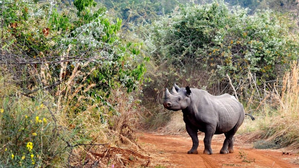 Rhino release: Endangered animals despatched to Rwanda