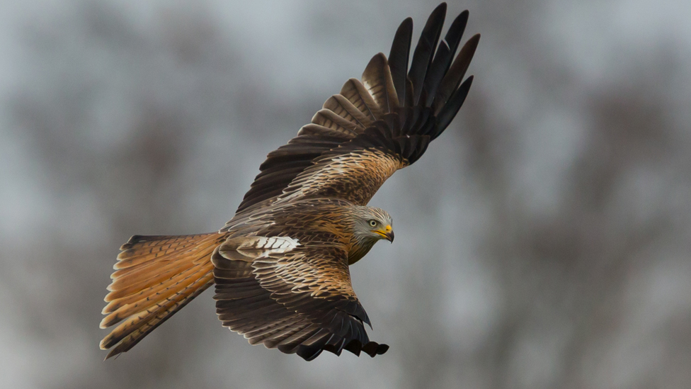 A red kite at a feeding station in Rhayader, Powys