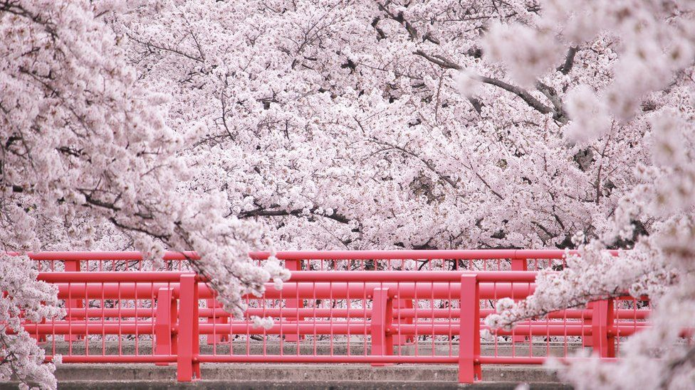 Árboles de flor de cerezo