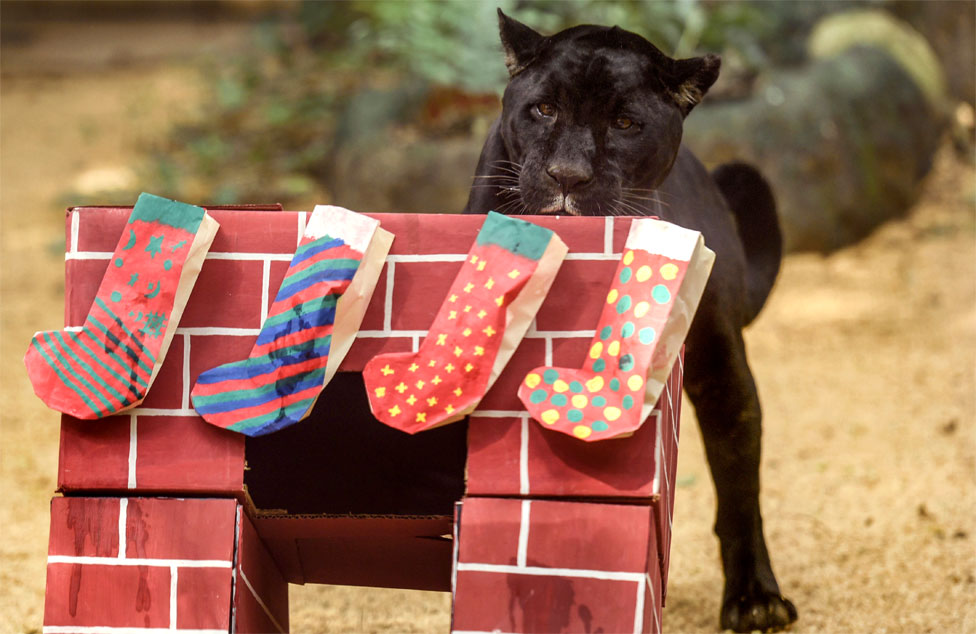 A black jaguar inspects Christmas stockings at Cali Zoo