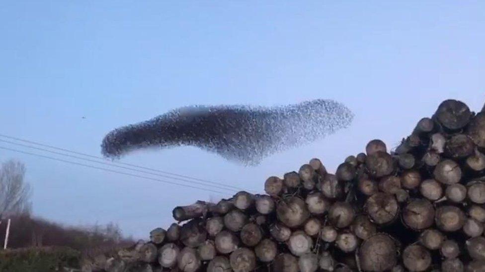 Mesmerising starling murmuration captured near Leominster