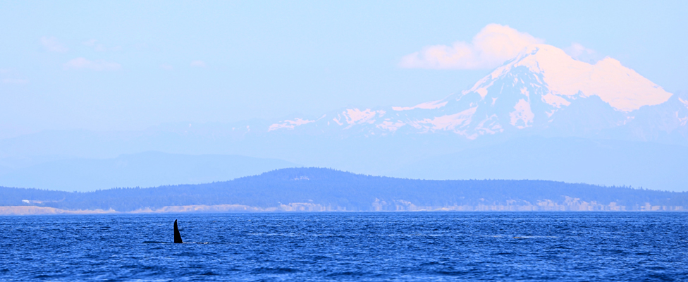 The Southern Residents return to the Salish Sea every summer to hunt salmon
