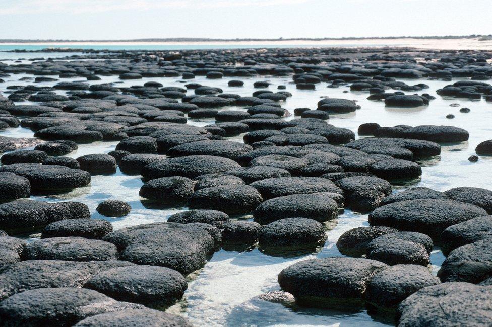 Estromatolitos, Shark Bay